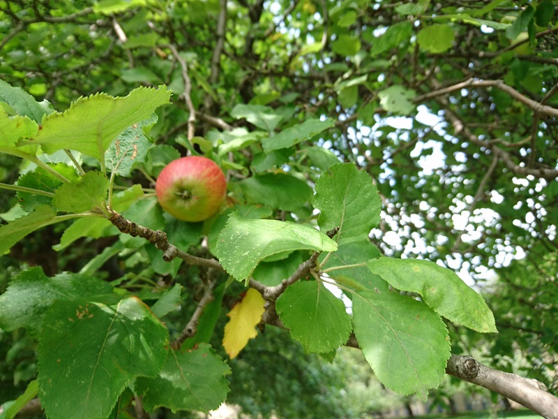 Apple on the Newton Apple Tree